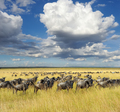 Wildebeest, National park of Kenya, Africa - PhotoDune Item for Sale