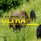 Wild Pigs 3 - VideoHive Item for Sale