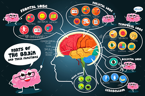 Infographic Parts and Functions of Brain - Decorative Vectors