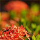 Bee and Ixora Flower 03 - VideoHive Item for Sale