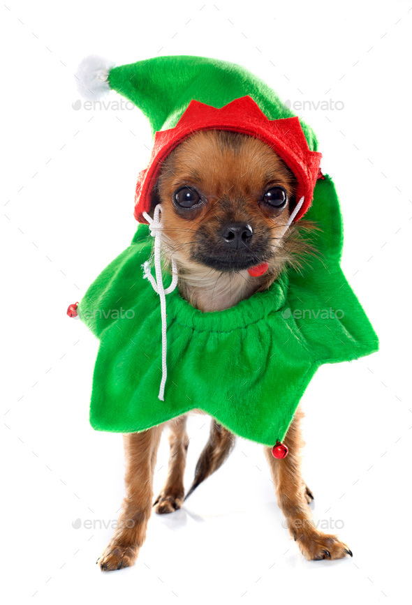 dressed puppy chihuahua in studio - Stock Photo - Images