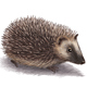 Hedgehog - GraphicRiver Item for Sale