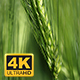 Wheat Swaying In The Wind - VideoHive Item for Sale