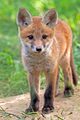 Fox in the wild - PhotoDune Item for Sale