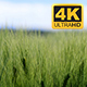 Wheat Swaying In Farm On Sunny Day - VideoHive Item for Sale