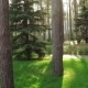 Pine Trees In Park - VideoHive Item for Sale