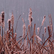 Bulrush in Thick Autumn Fog - VideoHive Item for Sale