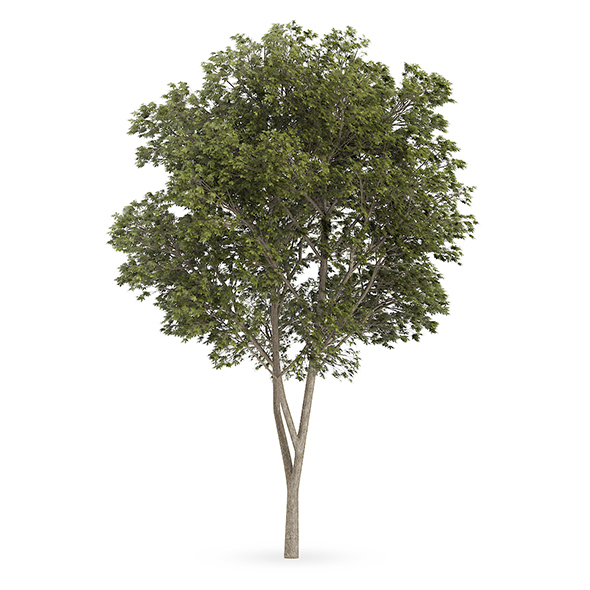 Austrian oak (Quercus cerris) - 3DOcean Item for Sale