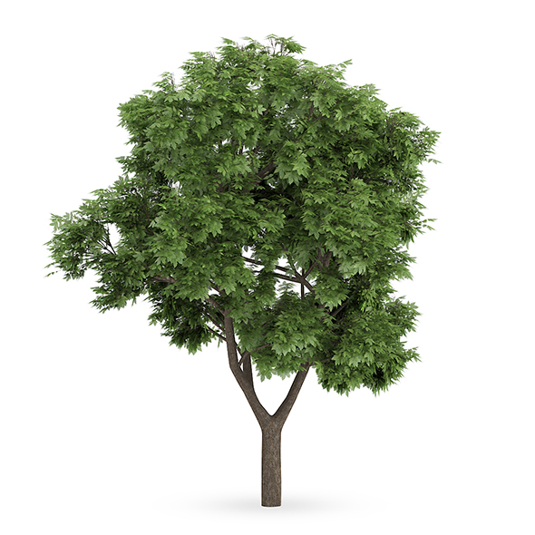 Sycamore Maple (Acer pseudoplatanus) - 3DOcean Item for Sale