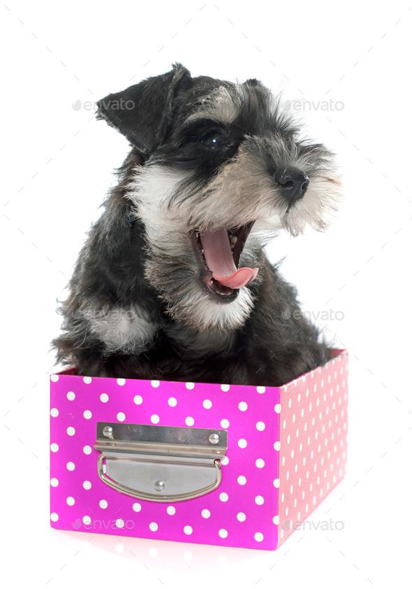 puppy miniature schnauzer - Stock Photo - Images