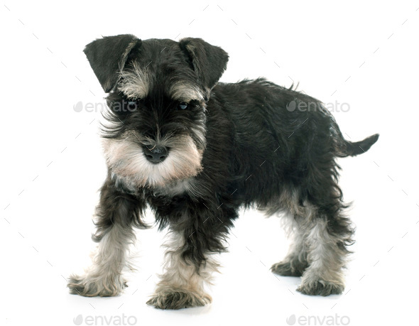 puppy miniature schnauzer - Stock Photo - Images