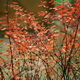 Autumn, Beautiful Red Leaves on The Bushes - VideoHive Item for Sale