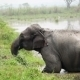 Elephant Bathing In Nepal National Park - VideoHive Item for Sale
