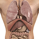 Human Body (Male) - Digestive Respiratory Reproduc - GraphicRiver Item for Sale