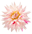 Dahlia flower white, pink colored, Studio shooting - PhotoDune Item for Sale