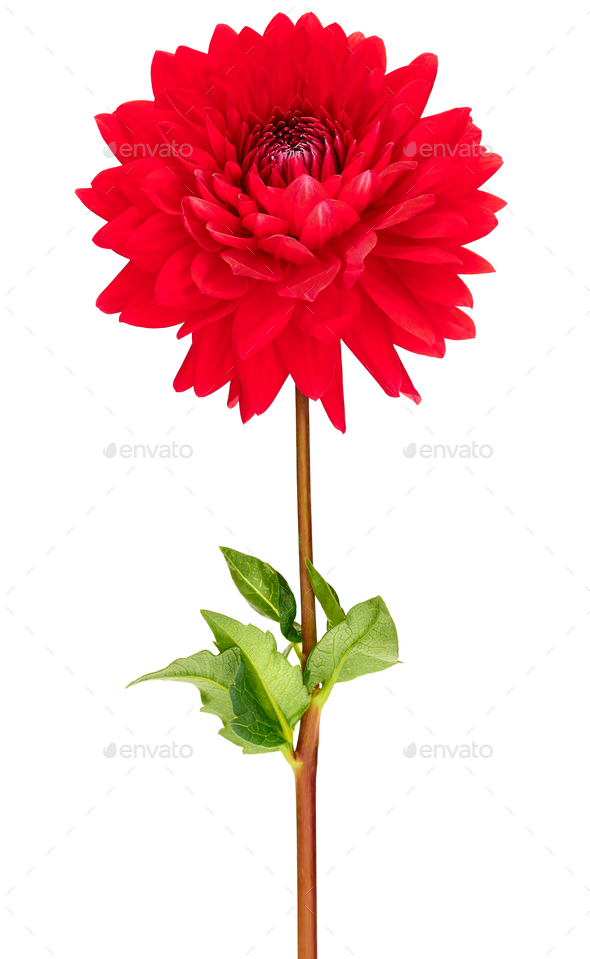 Dahlia red colored flower with green stem and leaf - Stock Photo - Images