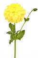 Dahlia yellow colored flower head with green stem - PhotoDune Item for Sale