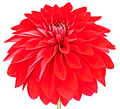 Dahlia red colored flower. Macro, isolated - PhotoDune Item for Sale