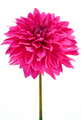 Dahlia pink, purple colored flower with green stem - PhotoDune Item for Sale