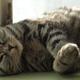 Resting Sleepy Cat - VideoHive Item for Sale