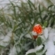 Frozen Orange Flower In The Snow. - VideoHive Item for Sale