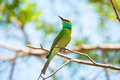 Brightly coloured little bee eater - PhotoDune Item for Sale