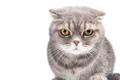 Portrait of a gloomy cat. Breed Scottish Fold.