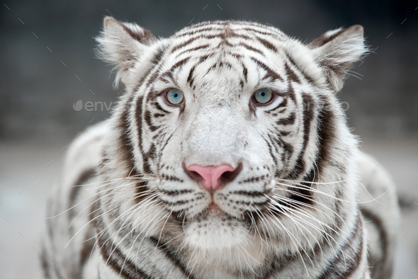 white bengal tiger - Stock Photo - Images