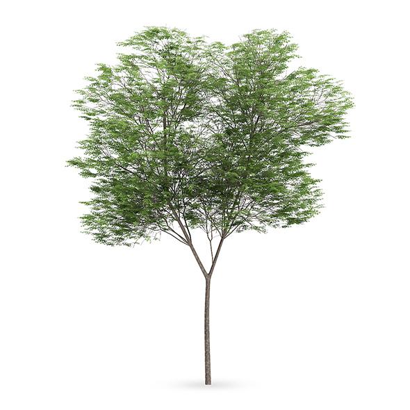 Common beech (Fagus sylvatica) - 3DOcean Item for Sale