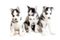 three purebred siberian husky puppies isolated on white