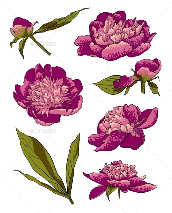 Peony Flowers Vector Llustration Set - Decorative Symbols Decorative