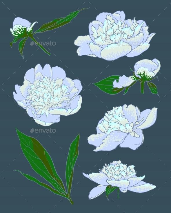 Peony Flowers Vector Illustration - Decorative Symbols Decorative