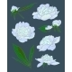 Peony Flowers Vector Illustration - GraphicRiver Item for Sale
