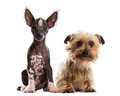 Chinese crested dog puppy and yorkshire terrier sitting in front of a white background