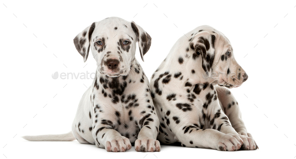Two Dalmatian Puppies In Front Of A White Background Stock Photo By