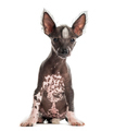 Chinese crested dog puppy sitting in front of a white background