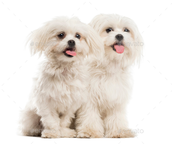 Two Malteses in front of a white background - Stock Photo - Images