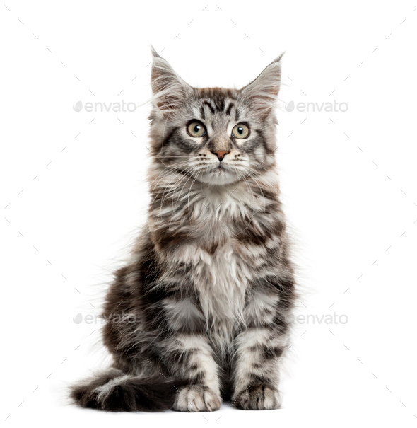 Maine coon kitten in front of white background - Stock Photo - Images