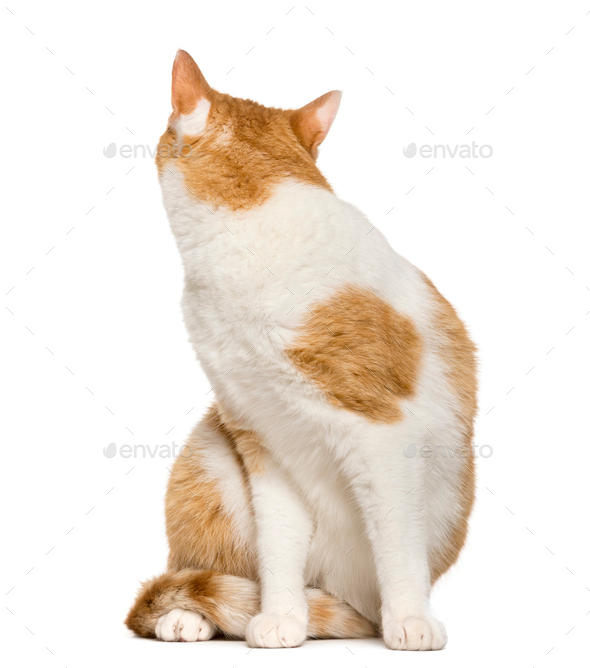 Cat looking back in front of white background - Stock Photo - Images