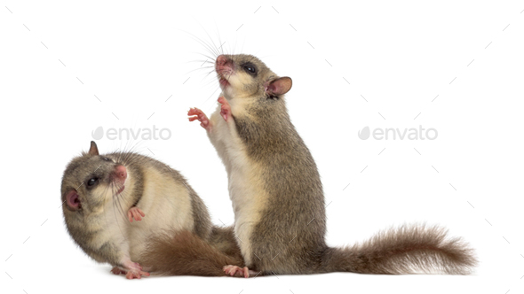Edible dormouse in front of a white background - Stock Photo - Images
