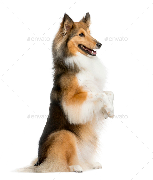 Shetland Sheepdog on hind legs in front of a white background - Stock Photo - Images