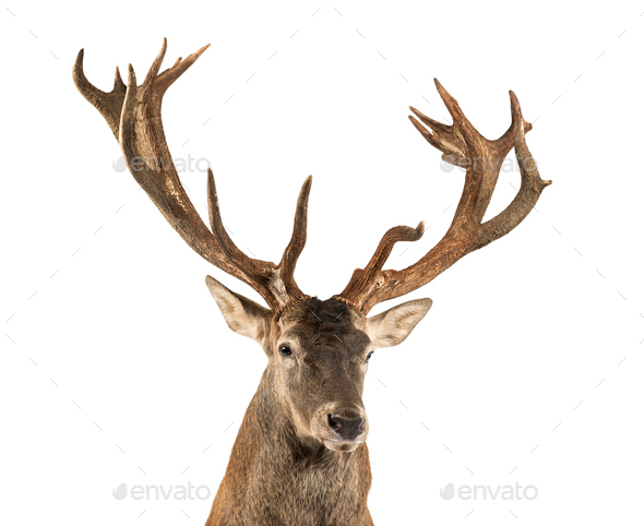 Close-up of a Red deer stag in front of a white background - Stock Photo - Images