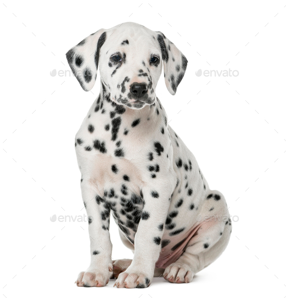 Dalmatian Puppy Sitting In Front Of A White Background Stock Photo By Lifeonwhite