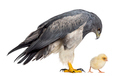 Chilean blue eagle - Geranoaetus melanoleucus looking at a chick