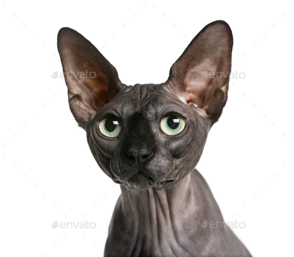Close-up of a Sphynx (2 years old) in front of a white background - Stock Photo - Images