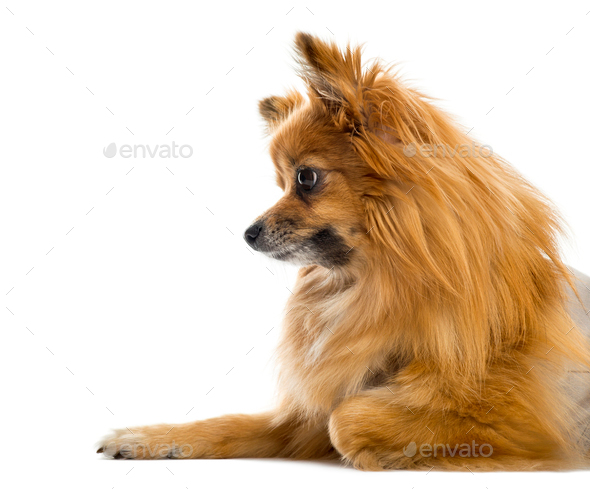 Close-up of a Chihuahua in front of a white background - Stock Photo - Images