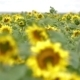 Field Of Sunflowers - VideoHive Item for Sale