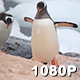 Gentoo Penguins Coming Ashore - VideoHive Item for Sale