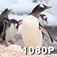 Busy Penguins - VideoHive Item for Sale