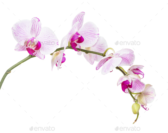 White and pink orchid flowers  isolated on white - Stock Photo - Images